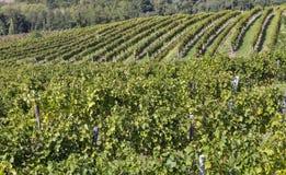 Vineyard rows in Slovenia Stock Photos