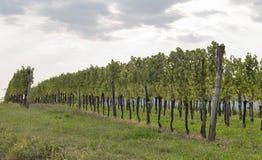 Vineyard rows in Slovenia. Brda region. Royalty Free Stock Images