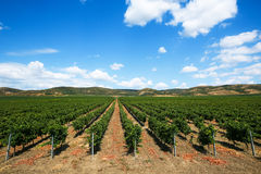 Vineyard rows in spring with blue sky Royalty Free Stock Photos
