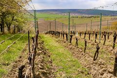 Vineyard rows in spring with blue sky. Spring wineyard landscape in southern moravia wine region Stock Photo