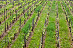 Vineyard rows in spring Stock Photos
