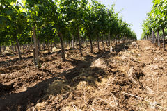 Vineyard rows in sunny day Stock Photo