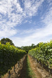 Vineyard Rows vertical orientation Royalty Free Stock Image