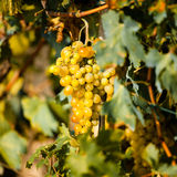 Vineyard. Rows of vines with bunches of grapes Stock Images