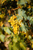 Vineyard. Rows of vines with bunches of grapes Stock Photography