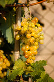 Vineyard. Rows of vines with bunches of grapes Stock Photo