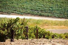 Vineyard with rows of vines in the foothills Stock Image