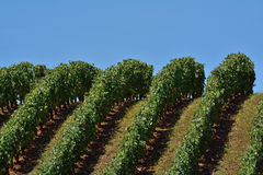A vineyard Royalty Free Stock Image