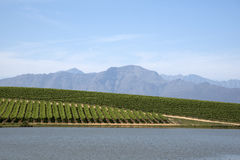 Vineyard and rows of vines South Africa Stock Image