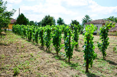 Vineyard. Rows of young small vines in vineyard, sunny day Royalty Free Stock Photos