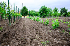 Vineyard. Rows of young small vines in vineyard, sunny day Royalty Free Stock Photography