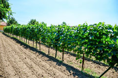 Vineyard. Rows of young small vines in vineyard, sunny day stock images