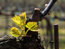 Vineyard in rural area in early spring stock photography