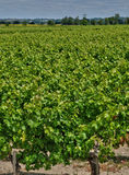 Vineyard of Saint Julien Beychevelle in Gironde Stock Image
