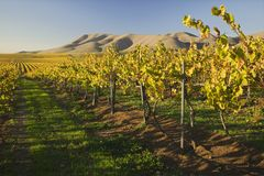 Vineyard in Santa Maria California Stock Images