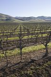 Vineyard in Santa Maria California Royalty Free Stock Image