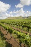 Vineyard in Santa Maria California Royalty Free Stock Photos