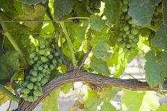 Vineyard in Santa Maria California Stock Photos