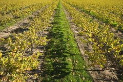 Vineyard in Santa Maria California Stock Photography
