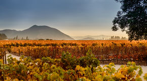 Vineyard in Santiago, Chile Stock Photos