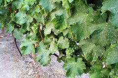 Vineyard in Santiago City, Chile. stock photos