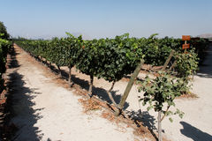Vineyard in Santiago do Chile Royalty Free Stock Images