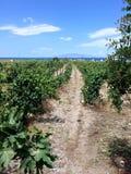 Vineyard in Santorini Greece Stock Photo