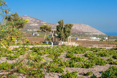 Vineyard. Santorini island, Greece Royalty Free Stock Images