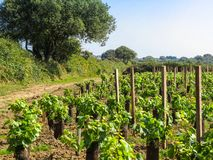 Vineyard on the Sark Island Royalty Free Stock Photo
