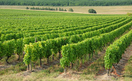 The vineyard of Sauternais in summer Royalty Free Stock Photography