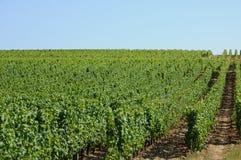 The vineyard of Sauternais in summer Stock Image