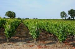 The vineyard of Sauternais in summer Stock Photography