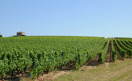 Vineyard of Sauternes Stock Photography
