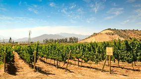 Vineyard of Sauvignon Grape Royalty Free Stock Images