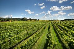 Vineyard Scene Royalty Free Stock Image