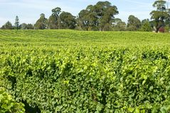 Vineyard Scene Stock Photos