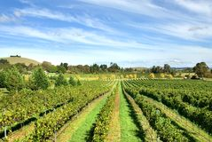 Vineyard Scene Royalty Free Stock Photo