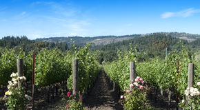 Vineyard Scene With Roses Stock Image