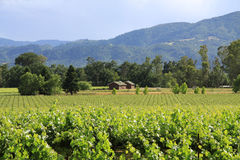 Vineyard scene in wine country Stock Photo