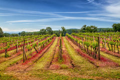 Vineyard scenery. Royalty Free Stock Photos