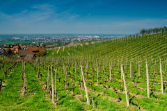 Vineyard in Schwarzwald Stock Photos