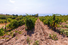 Vineyard on the sea background Royalty Free Stock Image