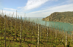 Vineyard at the sea. Royalty Free Stock Photos