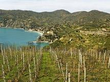 Vineyard at the sea. Stock Photo