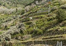 Vineyard at the sea. Stock Image