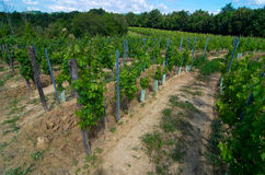 Vineyard in a semicircle prepared to make wine stock photography