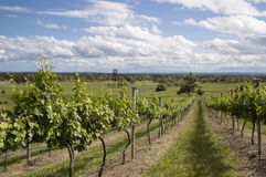 The Vineyard Series. Australian Vineyard against a blue sky background Stock Images