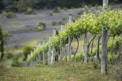 The Vineyard Series. Australian Vineyard near Lake George NSW Stock Photography