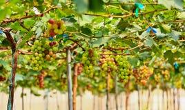 Vineyard at Silverlake. In Pattaya, Thailand Stock Photos