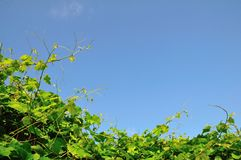 Vineyard and the sky Stock Photography